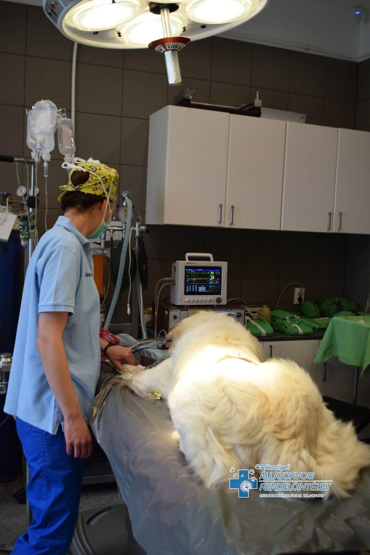 Szívféreg műtét